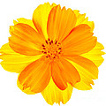 Yellow Cosmos by Robert Woodward