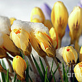 Yellow Crocuses In The Snow by Sharon Talson