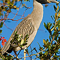 Yellow Crown Night Heron by Millard H. Sharp