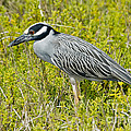 Yellow-crowned Night Heron by Anthony Mercieca