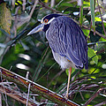 Yellow Crowned Night-heron by Bob Hislop