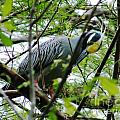 Yellow Crowned Night Heron In Display by Lizi Beard-Ward