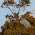 Yellow Crowned Night Heron by J H Clery