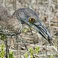 Yellow-crowned Night Heron With Crab by Anthony Mercieca