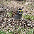 Yellow Crowned Sparrow by Lori Tordsen