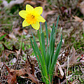 Yellow Daffodil At Lee Gardens by Kathy  White
