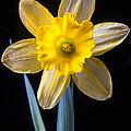 Yellow Daffodil by Garry Gay