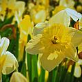 Yellow Daffodils by Mikki Cucuzzo