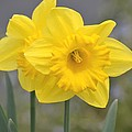 Yellow Daffodils by P S