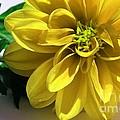 Yellow Dahlia Closeup by Barbara Griffin