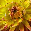 Yellow Dahlia  by Garry Gay