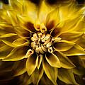 Yellow Dahlia  by Sally Bauer