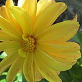 Yellow Dahlia by Tina M Wenger