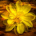 Yellow Dahlia Under Water by  Onyonet  Photo Studios