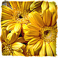 Yellow Daisies by Doug Heslep