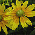 Yellow Daisies by James C Thomas