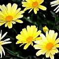 Yellow Daisies by Tara Potts