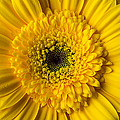 Yellow Daisy Close Up by Garry Gay