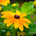Yellow Daisy by Dale Powell