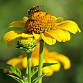 Yellow Daisy by David T Wilkinson
