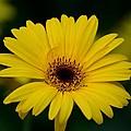 Yellow Daisy by Maria Urso
