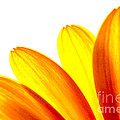 Yellow Daisy Petals Macro by Brian Raggatt