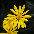 Yellow Daisy by Phil Abrams