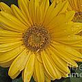 Yellow Daisy by William Norton