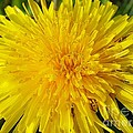 Yellow Dandelion With A Little Heart by Karin Ravasio