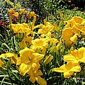 Yellow Daylilies by MTBobbins Photography