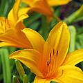 Yellow Daylily by Pamela Critchlow