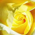 Yellow Diamond Rose Palm Springs by William Dey