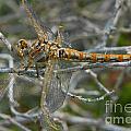 Yellow Dragonfly by Mae Wertz