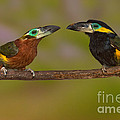 Yellow-eared Toucanet Pair by Anthony Mercieca