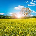 Yellow Field by Sabino Parente