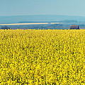 Yellow Field by Svetlana Sewell