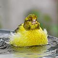 Yellow Finch by Olga Hamilton