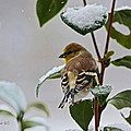 Goldfinch On Branch by Denise Romano