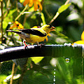 Yellow Finch With A Water Leak by B Wayne Mullins