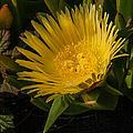 Yellow Flower 1.7103 by Stephen Parker