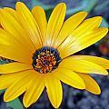 Yellow Flower Helianthus by Tony Murtagh