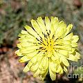 Yellow Flower by Krista Wimmer