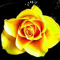 Yellow Flower On A Dark Background by Steve Kearns