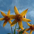 Yellow Flower On Blue Sky by Geoffrey McLean