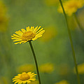 Yellow Flower by Paulo Goncalves