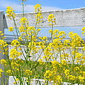 Yellow Flowers And A White Fence by Bill Cannon
