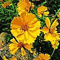 Yellow Flowers Cape Cod by Jim Rabenstine