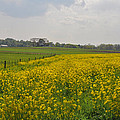 Yellow Flowers In A Field by Bill Cannon