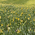 Yellow Flowers by M Valeriano