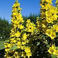 Yellow Flowers  by Sarka Olehlova